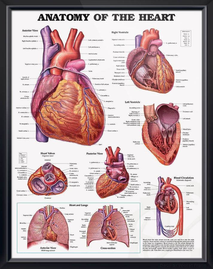 Anatomy of The Heart 20x26 | Heart anatomy and Humor