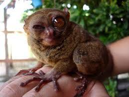 Image result for tarsier