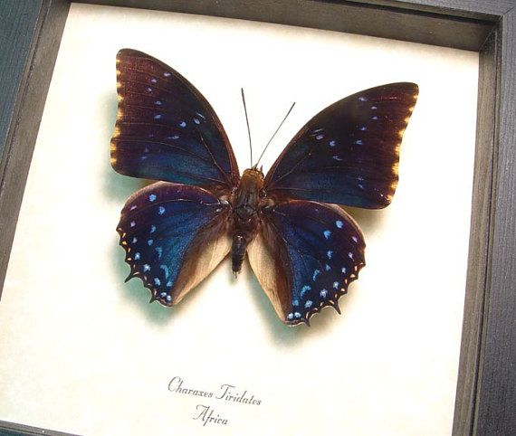 Charaxes Tiridates The Common Blue Charaxes Real Framed | Etsy