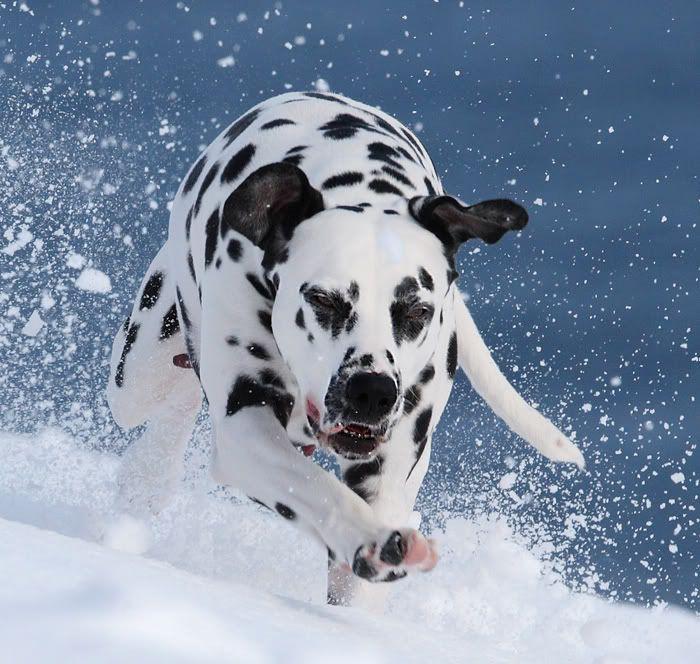 Resultado de imagen para dalmatian  nieve