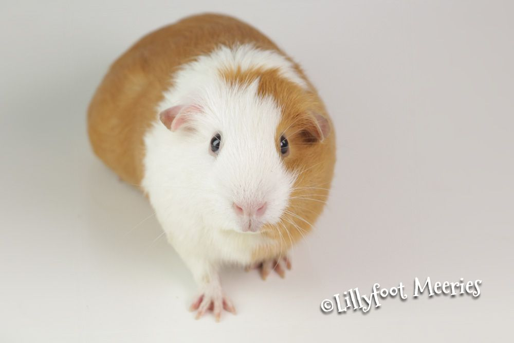 Us Teddy Meerschweinchen In Schoko Weiss Loh Lillyfoot Meerschweinchen Meerschweinchen Us Teddy Meerschweinchen Teddy Meerschweinchen