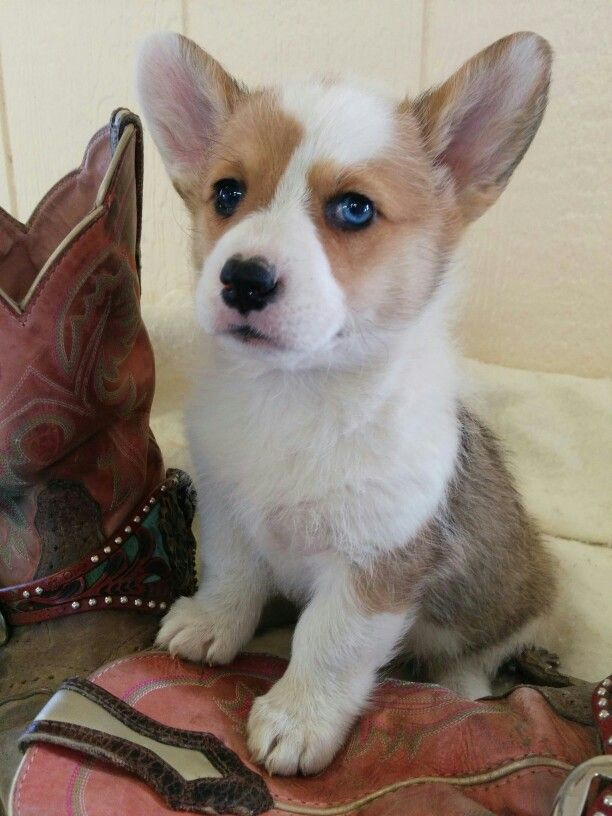 Corgi Puppy Blue Eye Corgi Corgi Puppy Corgipoo