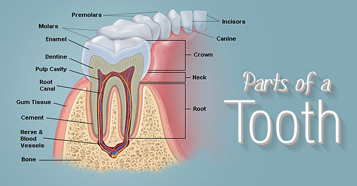 What Parts Make Up The Structure Of A Tooth The Structure Of A Tooth Consists Of Four Main Parts Enamel Dentin Pulp Family Dentistry Root Canal Dentistry