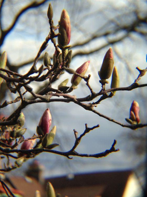 Magnolia buds    videovidivisum.com