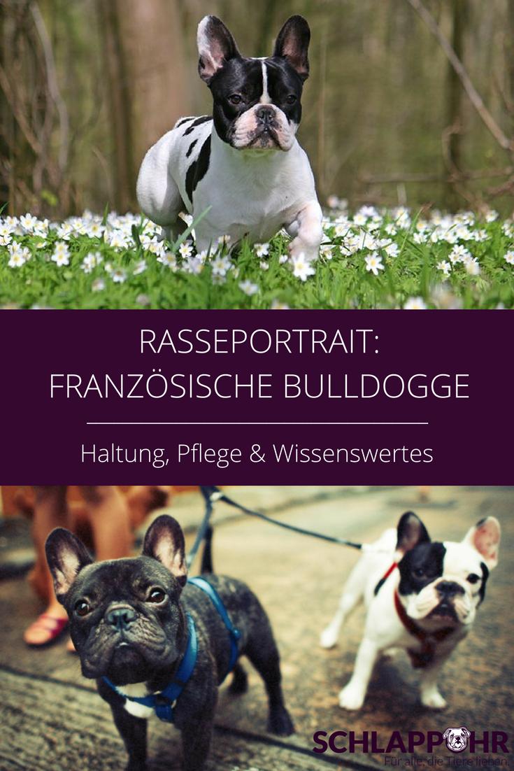 Frohlich Verspielt Und Sooo Liebevoll Das Musst Ihr Uber Die Franzosische Bulldogge Wissen Mit Bildern Bulldogge Franzosische Bulldogge Hunderassen