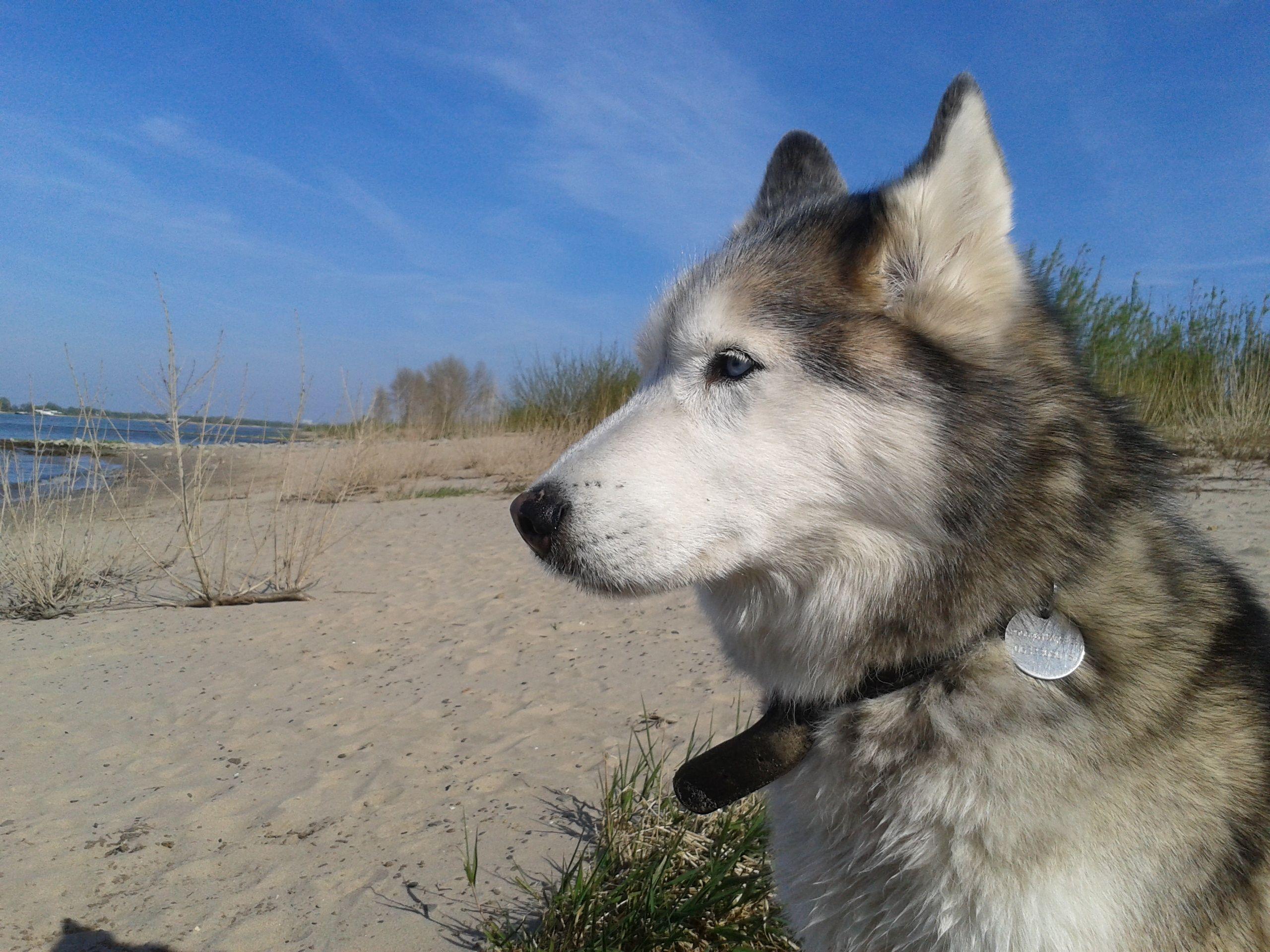 Husky Smokey april 2015 #dog