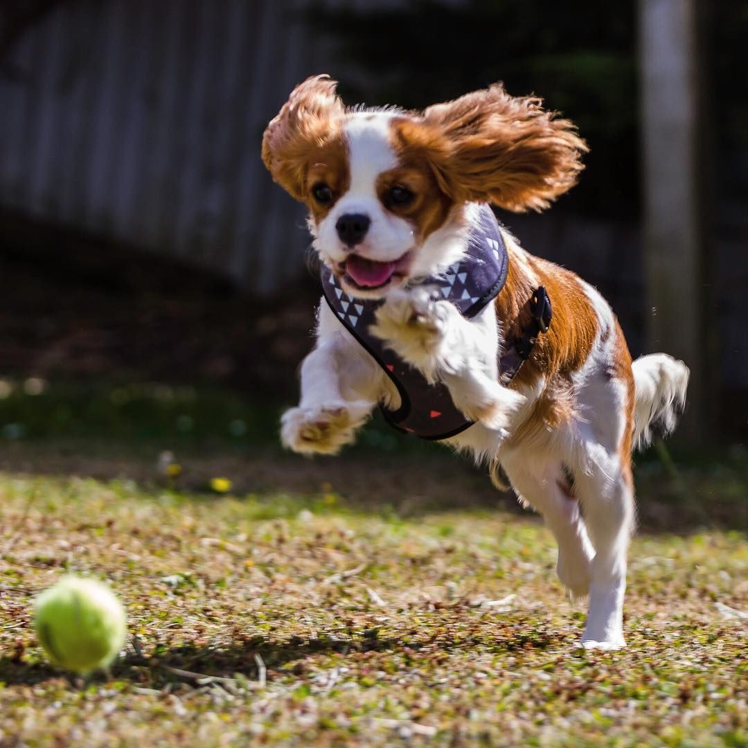 Run Teddy Run King Charles Puppy Puppy Play Teddy