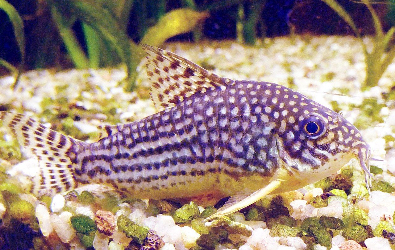 cory sterbai freshwater fish tropical fish fish tank coolest