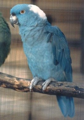 Blue Yellow-Naped Amazon