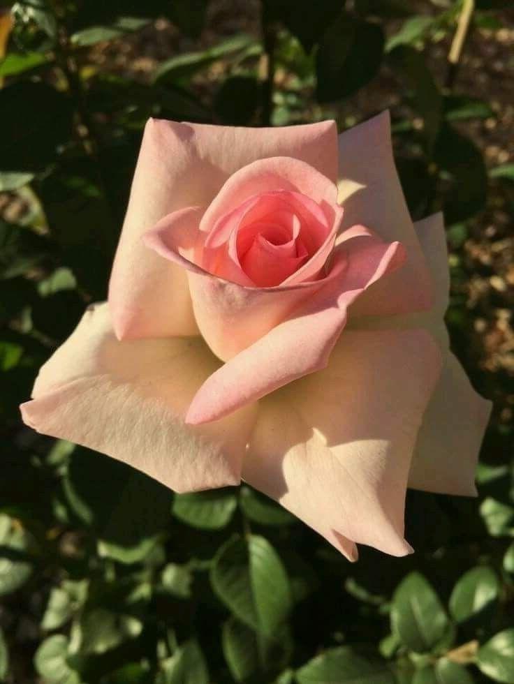 Pin Von Veselinka Holzmuler Auf Rosen Rosen Pflanzkubel Und Blumen