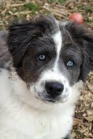 Image Result For Border Collie Bernard Unique Dog Breeds Hybrid