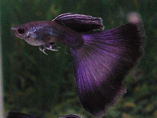 Image Result For Grey Cherry Pink Grass Guppy Guppy Fish Guppy Tropical Fish Aquarium