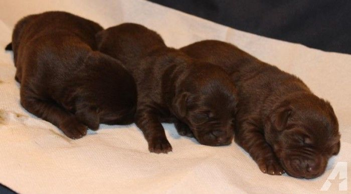 Pure bred chocolate female lab puppies for Sale in Cowley, Pennsylvania Classified | AmericanListed.com