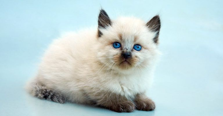 10 Hypoallergenic Cats For People With Allergies The Daily Tail Hypoallergenic Cats Balinese Cat Cat Breeds Hypoallergenic