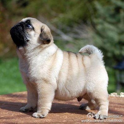 Fluffy Baby Pug With Rolls Love Baby Pugs Cute Pugs Cute