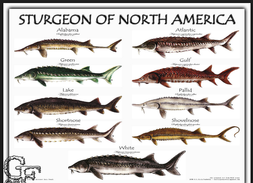 The Sturgeon Species Of Champ And Nessie