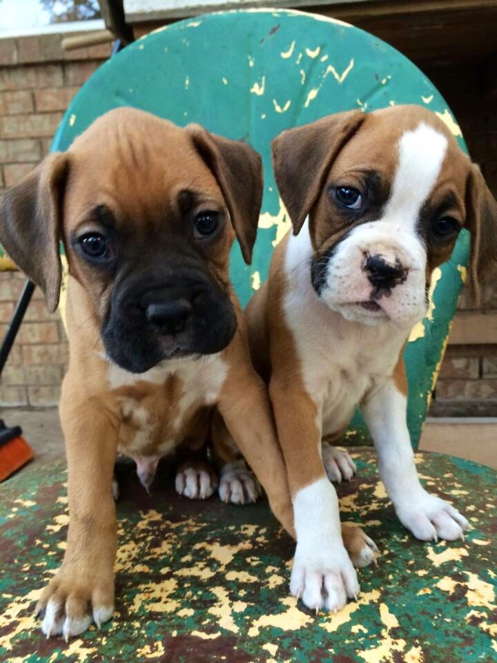 Boxer pups fawn & flashy fawn Boxer puppies, Boxer
