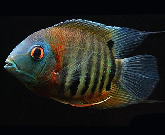 Red Shoulder Severum Heros Sp Cichlid Aquarium Aquarium Fish Cichlids
