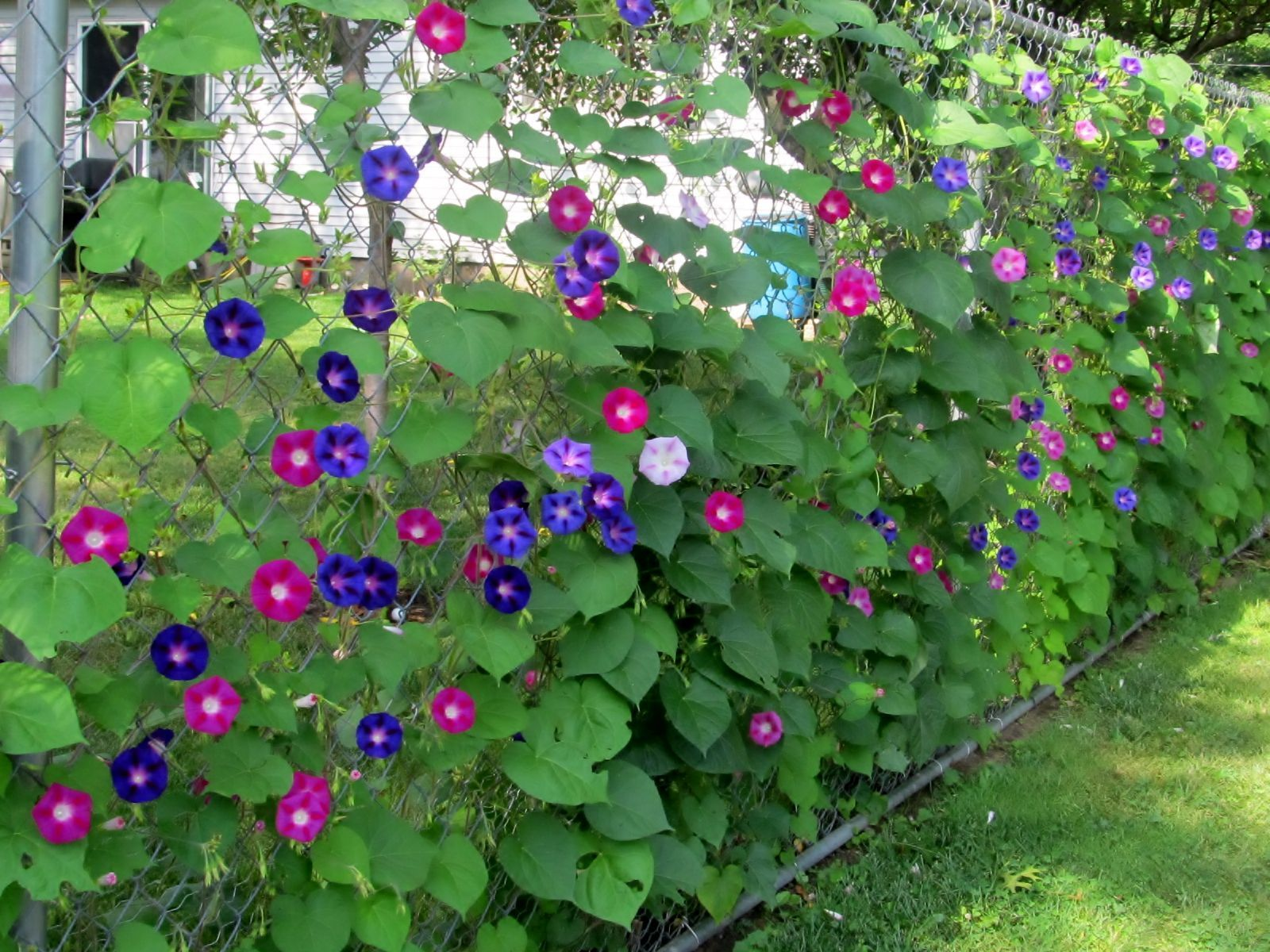 Growing Morning Glories And Clematis Up Chain Link Fence For Privacy Gardenvinesmorningglories Garde Chain Link Fence Landscaping Along Fence Backyard Plants