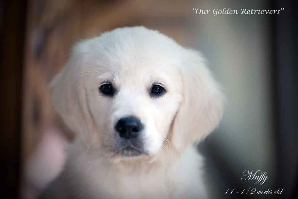 English Cream Akc Golden Retriever Pups Nj Pa Ct Md Ma Ny De Fl Az