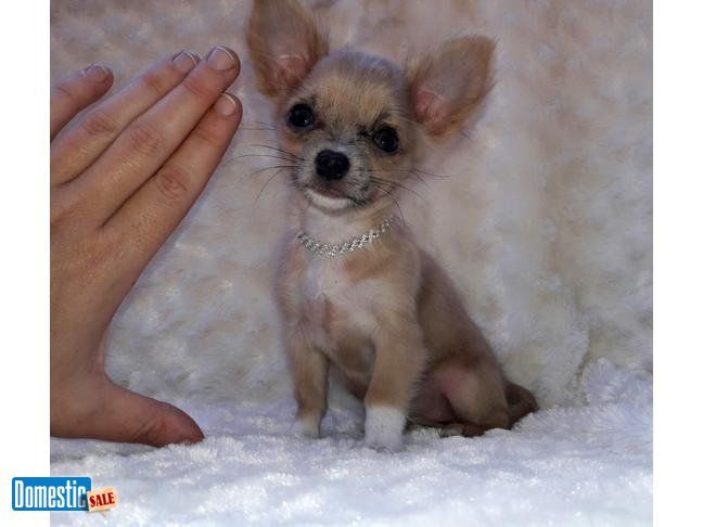 Extremely Tiny Micro Apple Head Chihuahua Female Approx 3lbs