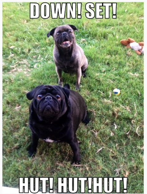 Pugs Playing Football Funny Animals Cute Animals