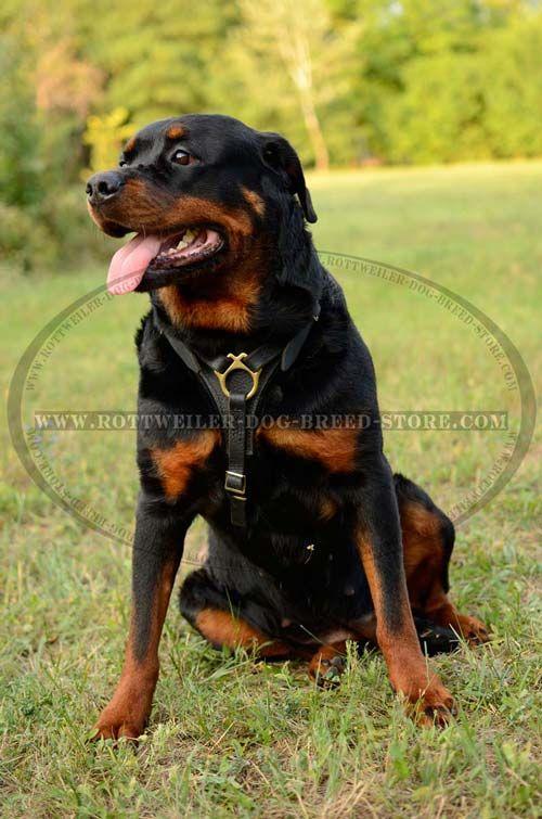 Rottweiler Dog Breed Store Com H3 1018 Handmade Tracking Leather Harness Rottweiler Dog Rottweiler Dog Breed Rottweiler