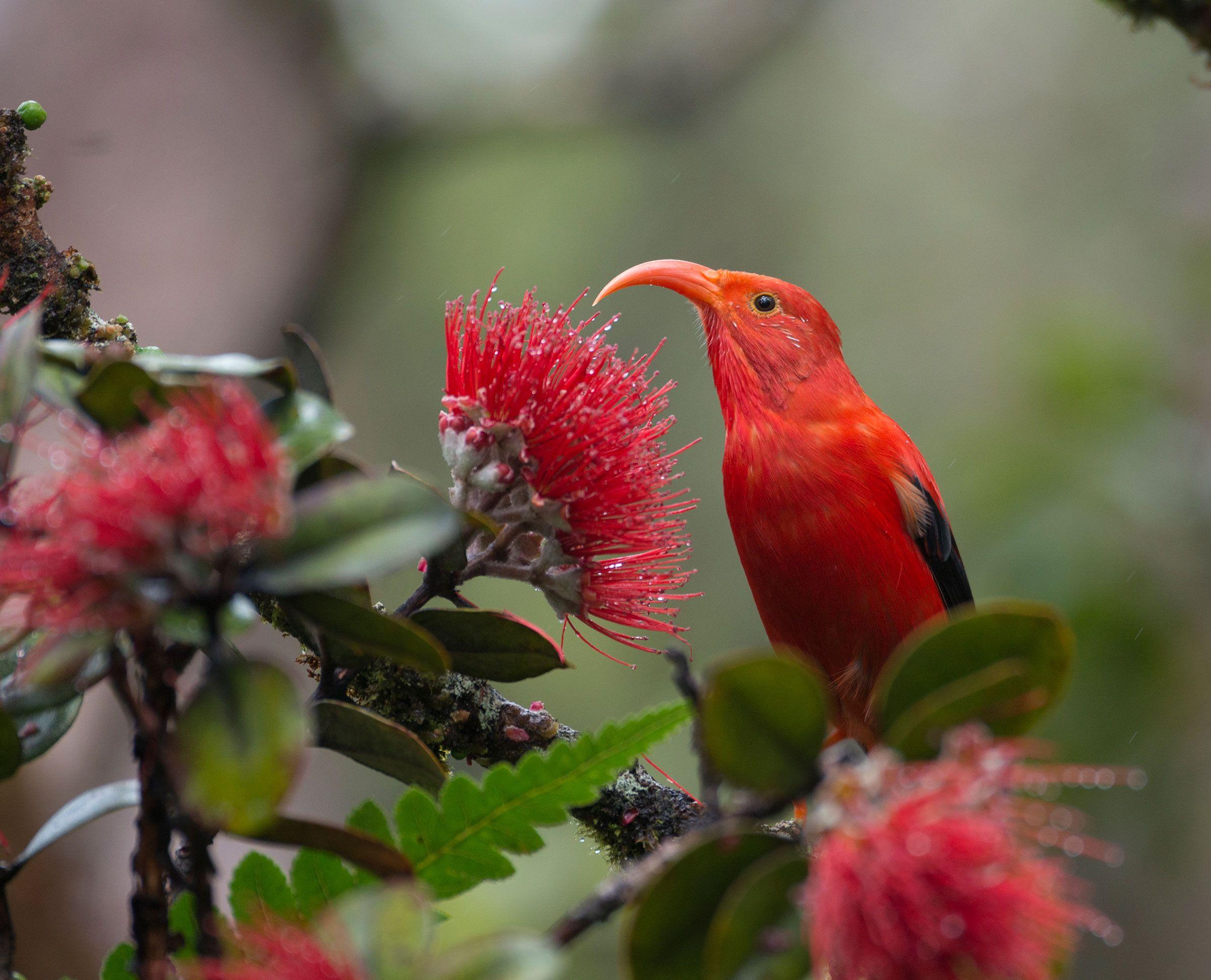 Keeping Hope Alive For Hawaii's Iiwi Birds, Bird