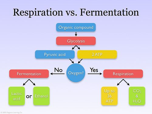 image result for fermentation vs respiration