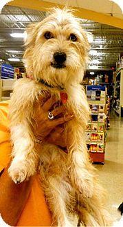 Amarillo Tx Westie West Highland White Terrier Mix Meet