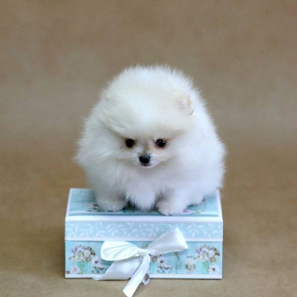 Pin On Crystal Teacup Pomeranian Puppies