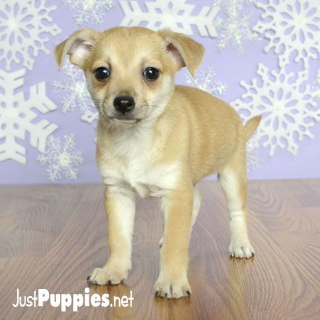 Puppies For Sale Orlando Fl Justpuppies Net Puppies For Sale