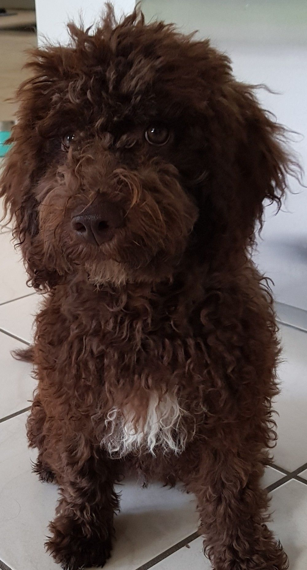 Pin By Morgan Willis On Dogs Lagotto Romagnolo Puppy Lagotto Romagnolo Doodle Dog