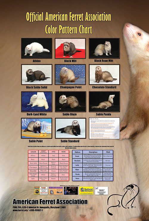 Color and pattern chart (With images) Ferret colors