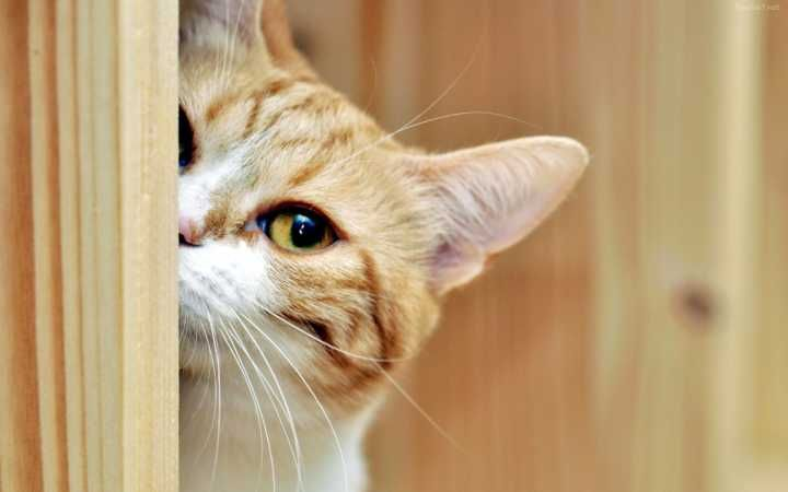 Pesquisa Conclui Que Gatos Amam Tanto Seus Tutores Quanto Os Caes