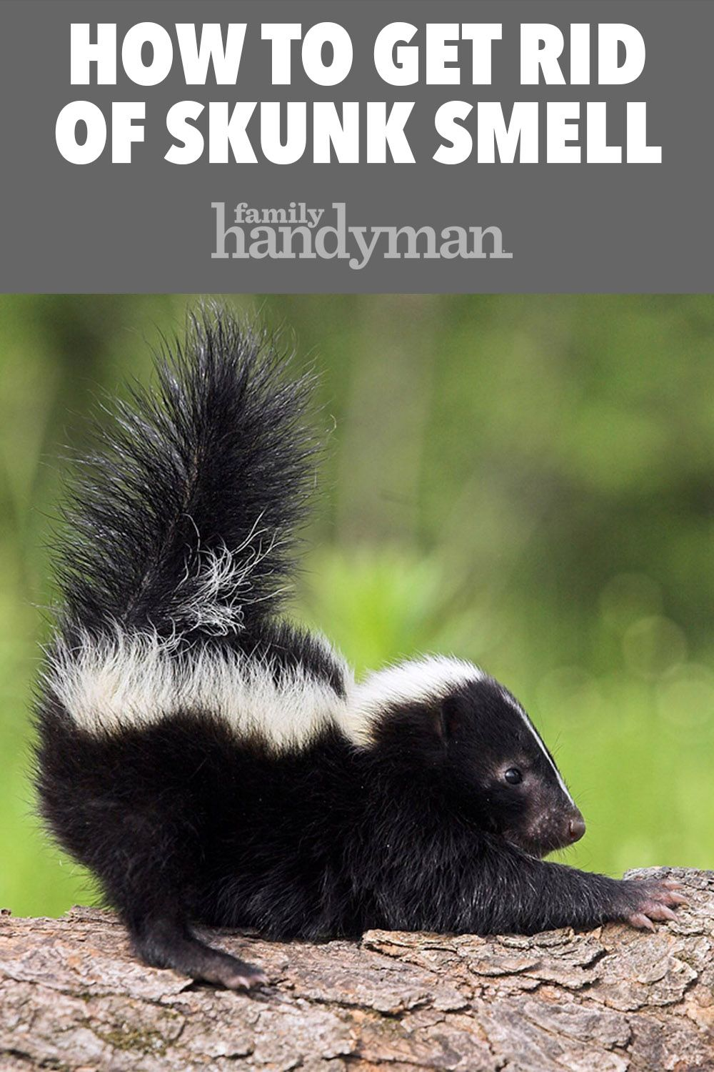 How To Get Rid Of Skunk Smell Skunk Smell Getting Rid Of Skunks Skunk Smell In House