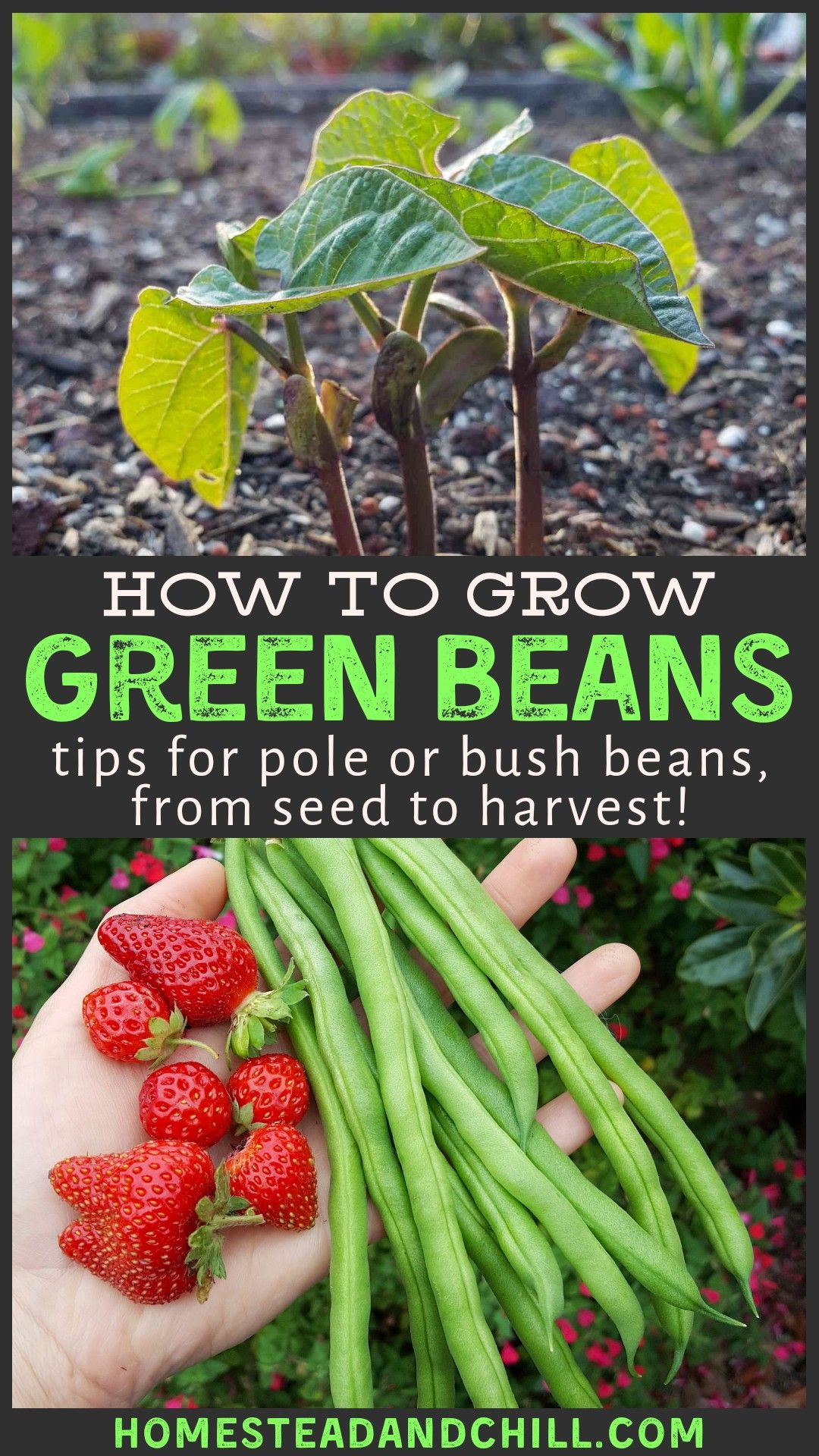 How To Grow Bushels Of Beans From Seed Bush Beans Pole Beans Homestead And Chill Bush Beans Growing Bush Beans Green Bean Seeds