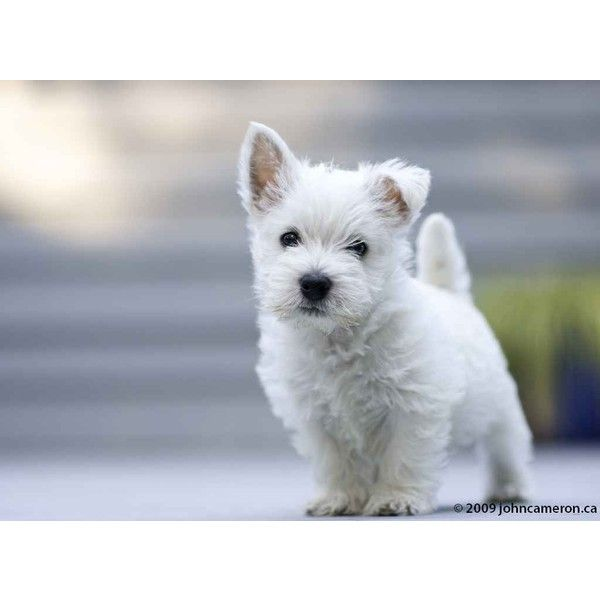 West Highland White Terrier puppy ❤ liked on Polyvore