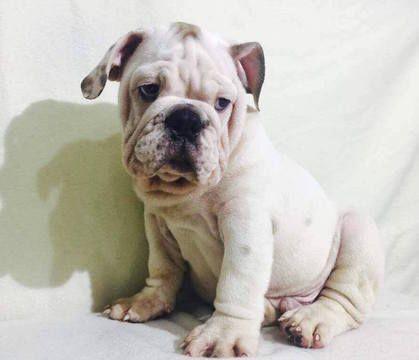 Bulldog Puppy For Sale In Summerville Sc Adn 29732 On