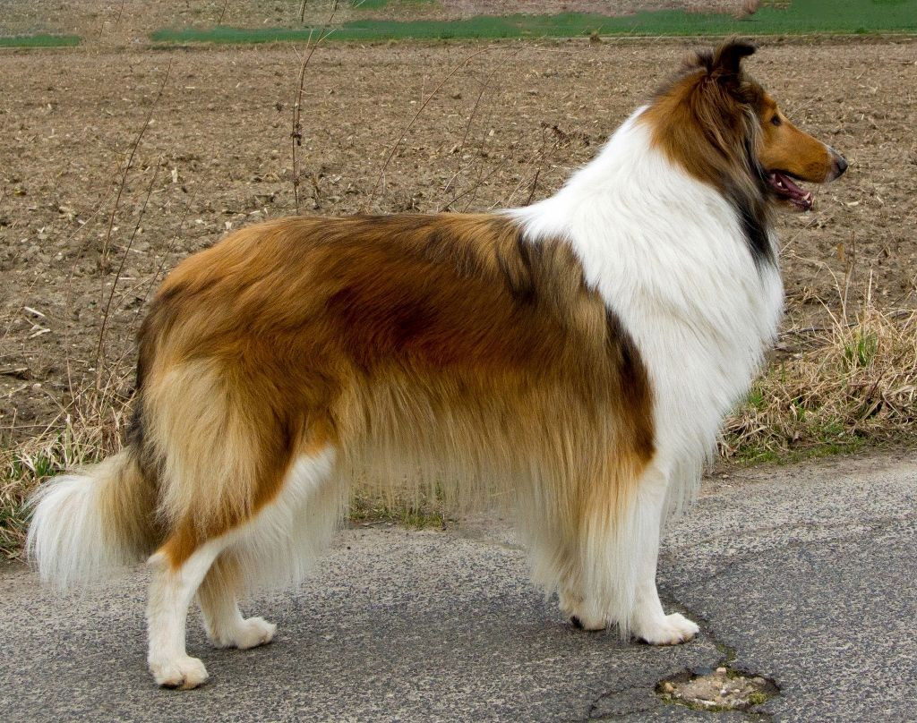 Rough Collie Rose River S Blues Of Paradise Rough Collie The Perfect Dog Collie