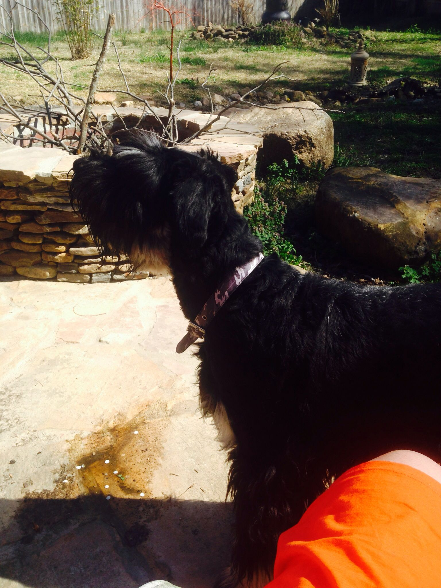 Hopi 8 Month Old Giant Getting Spayed Next Week Giant Schnauzer