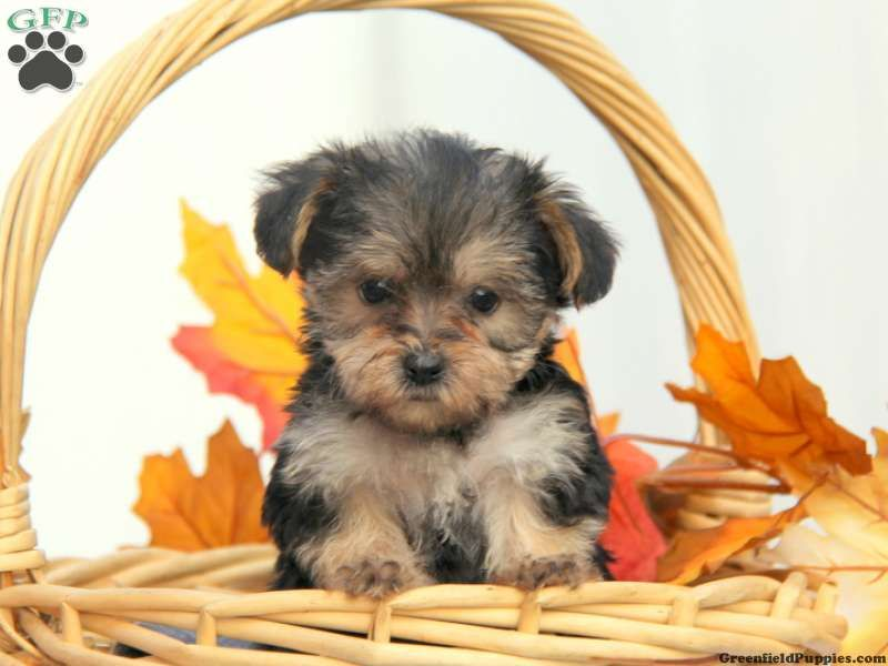 Little Lil Yorkie Poo Puppy For Sale In Gordonville Pa Puppies Yorkie Poo Puppies Yorkie Poo