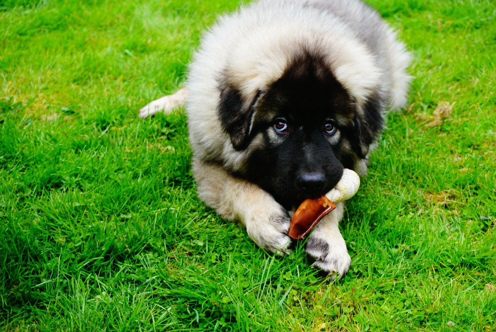 sarplaninac puppy sarplaninac welpe illyrischer