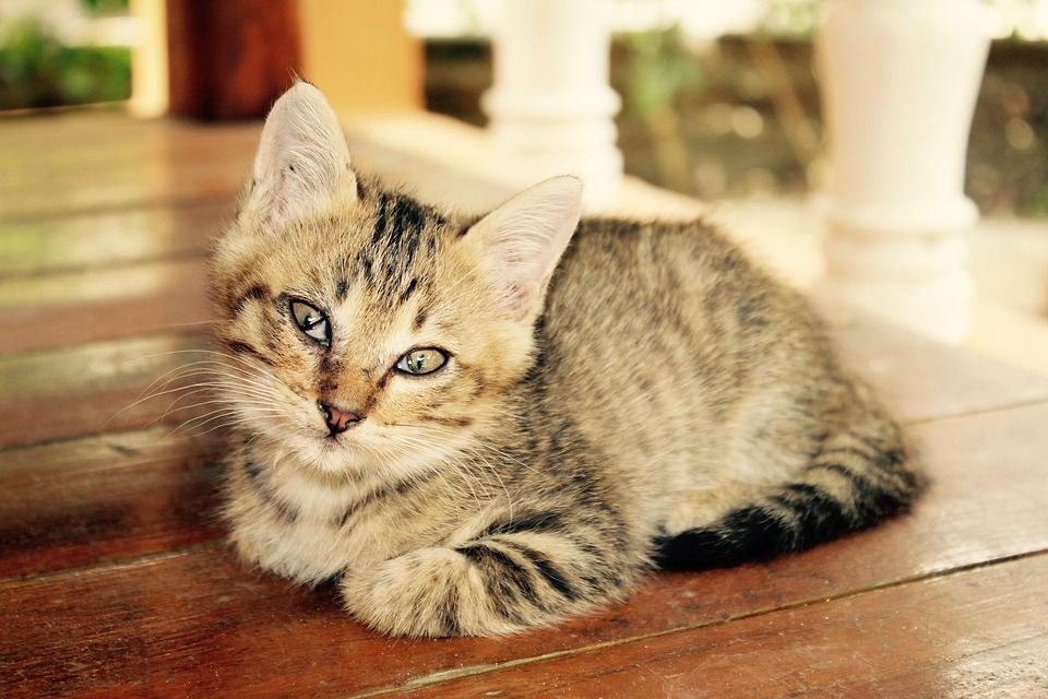 Average Life Expectancy for Cats Cat safety, Tabby cat