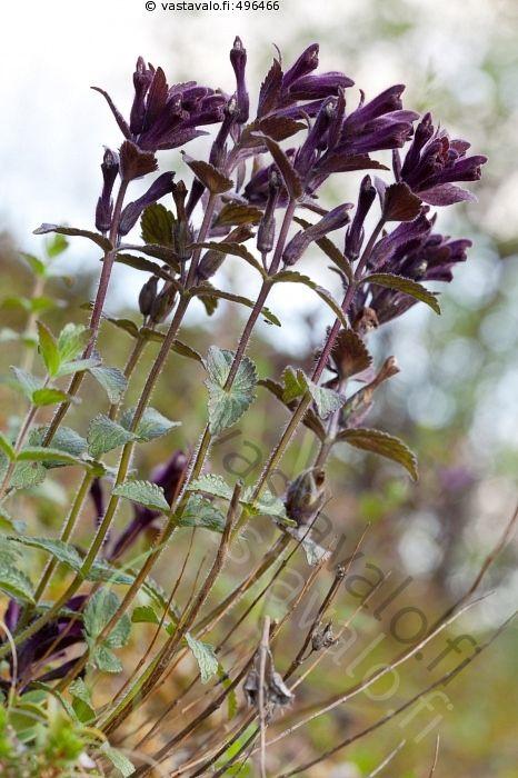 Punakot - punakko punakot Bartsia alpina tunturikasvi Näivekasvit Orobanchaceae…
