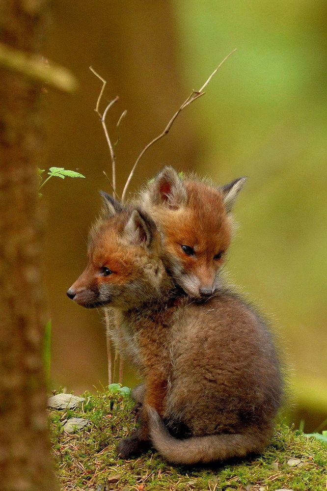 News From My Young Foxes Iv From Wolf In 2020 Cute Animals