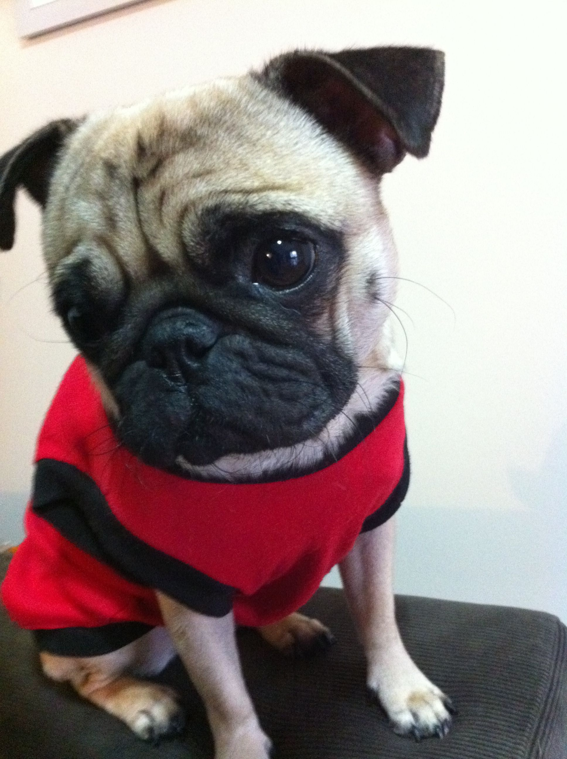 Puppy Eyes Pug To Cute Puppy Eyes Pugs Puppies