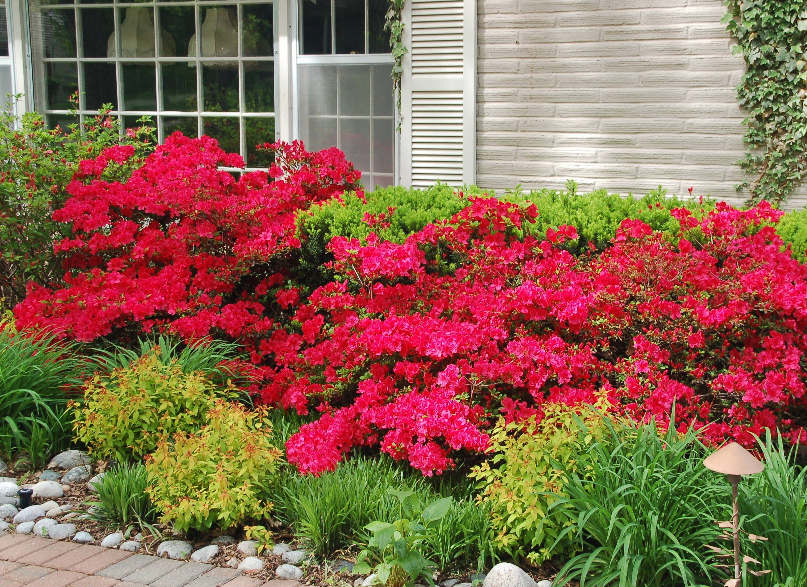 Landscaping shrubs ideas using azalea in the front yard for Front yard bush ideas