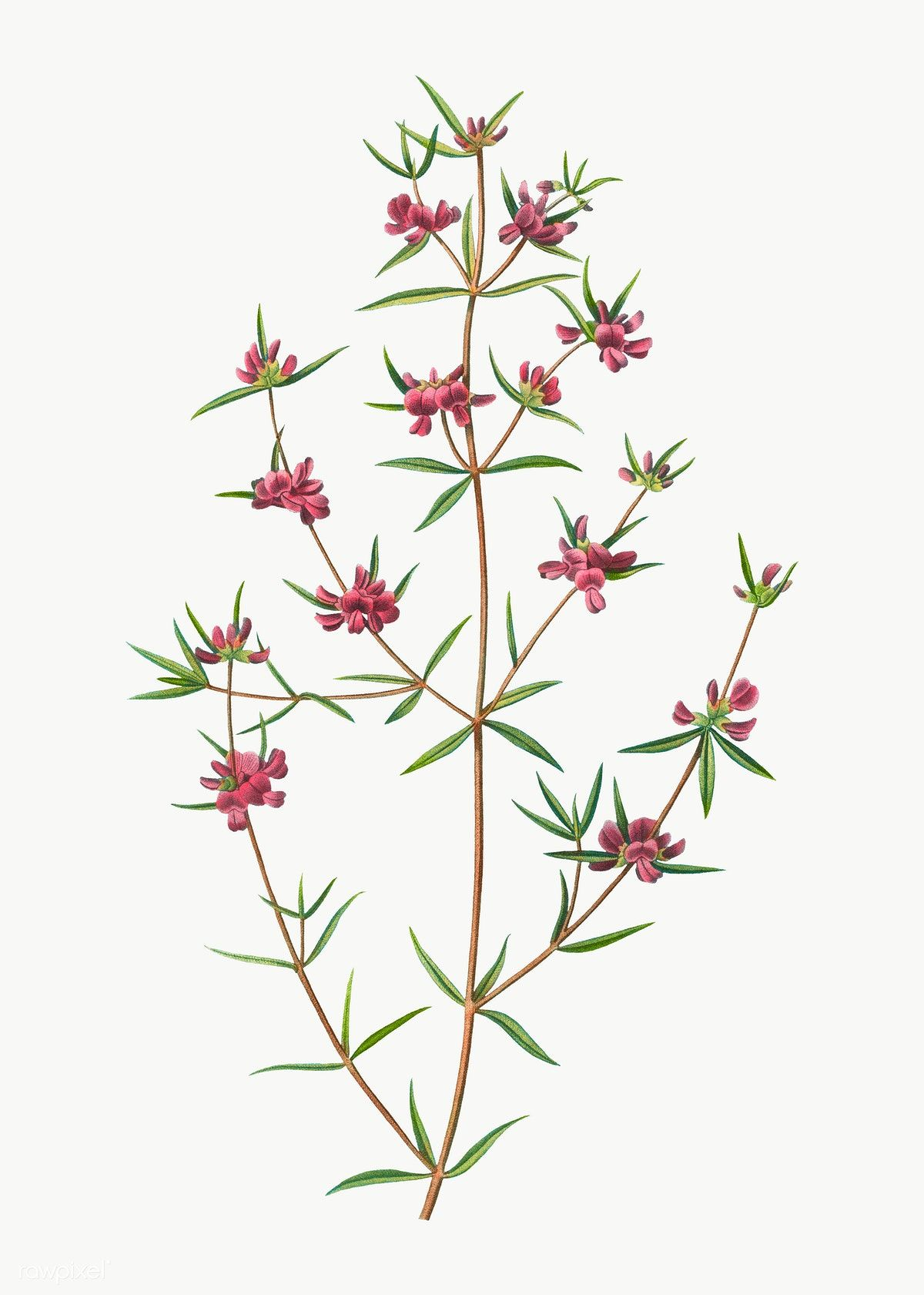 Heath Mirbelia Branch Plant Transparent Png Free Image By Rawpixel Com Plant Vector Vector Free Flower Illustration