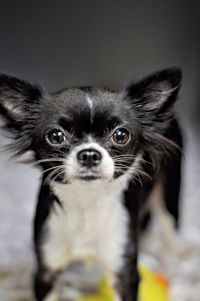 black and white short haired chihuahua puppy dog ( looks